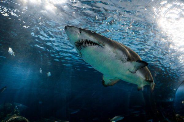 squalo-bassa-risoluzione